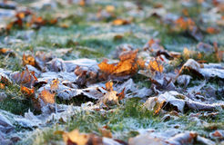 The orange leaves layered with ice crystals in winter time Stock Photography