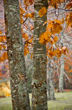 Orange leaves on oak trees Royalty Free Stock Images