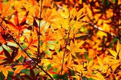 Orange Leaves Stock Images