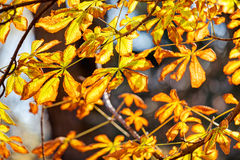 Orange leaves Royalty Free Stock Photography