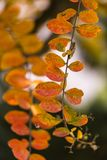 Plant with orange leaves in the Autumn Season with close up view stock images