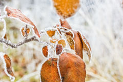 Orange leaves of quince-tree with white hoarfrost, macro Royalty Free Stock Images