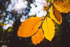 Orange leaves in sunlight Stock Photo