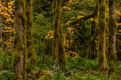 Orange Leaves and Thick Moss in Temperate Rain Forest. In Washington royalty free stock image