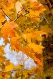 Orange Leaves on Tree Royalty Free Stock Photo