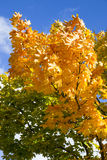 Orange leaves on tree in autumn Royalty Free Stock Images