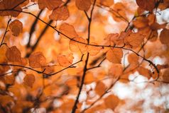 Orange leaves on a tree in autumn royalty free stock photos