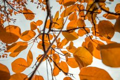 Orange leaves on the tree. Autumn time Stock Photography