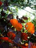 Orange leaves under the sun Stock Photos