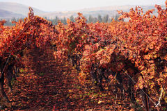 Orange Leaves at a Vineyard. Stock Image