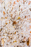 Orange leaves of weigel with white hoarfrost Royalty Free Stock Image