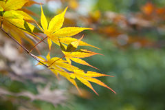 Orange leaves in wind Royalty Free Stock Photography