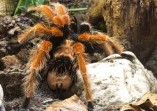 Orange-legged bird spider Royalty Free Stock Photography