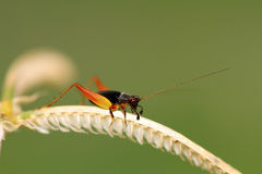 Orange legged cricket Royalty Free Stock Photo
