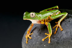 Orange legged leaf frog / Phyllomedusa hypochondiales Stock Photos