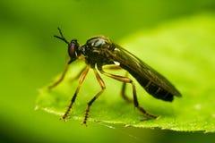 Orange-legged Robberfly - Dioctria oelandica Royalty Free Stock Image