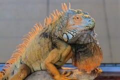 Orange Leguan Lizenzfreie Stockfotografie