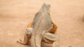 Orange Leguan, der durch desertic Landschaft geht Film- folgender hinterer Ansichtschuß stock video footage