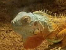 Orange Leguan mit hellblauem Kopf lizenzfreie stockbilder