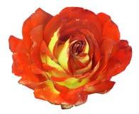 Orange and lemon color rose bloom on white Stock Photos