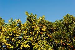 Orange and lemon tree Stock Photo