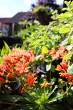 Orange lewisia growing in a garden. Orange lewisia growing in an urban garden stock image