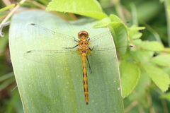 Orange Libelle Stockfoto