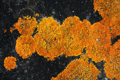 Orange Lichen on a black rock. A vivid contrast of bright orange lichen growing in concentric circles on a black rock background stock photography