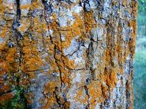 Orange lichen and blue background. Orange lichen brightly colored rural stock images