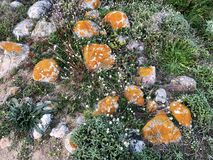 Orange lichen. Growing on rocks near a beach royalty free stock images