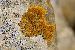 Orange Lichen organic growth texture on limestone rock. Macro photo of ancient natural limestone rock in the Cotswolds with orange organic lichen growth, surface stock photos