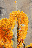 Orange lichen on rock Stock Images