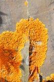 Orange lichen on rock Stock Images