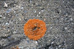 Orange lichen Stock Photography