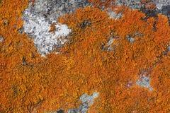 Orange lichen on stone. Stone covered with bright orange lichen closeup royalty free stock photo
