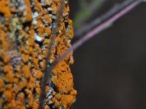 Orange Lichen on tree branch. Macro of orange lichen/moss on tree branch blurred background stock photography