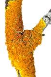 Orange lichen xanthoria polycarpa Royalty Free Stock Photography