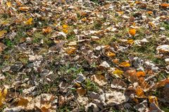 Orange and light brown tinted fallen tree leaves in the grass on. The ground in early morning sunlight. Autumn has really started in the Netherlands royalty free stock photo