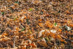 Orange and light brown tinted fallen tree leaves on the ground i. Orange and light brown fallen tree leaves on the ground in diffuse early morning sunlight. One royalty free stock photo