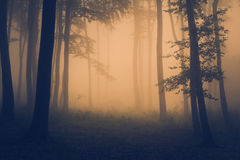 Orange light in a mysterious forest with fog. Path through silhouette trees through the mist. A foggy day during autumn in the forest Royalty Free Stock Images