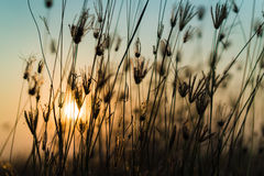 Orange light of the sun sets through the grass. Royalty Free Stock Image