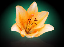 Orange lilia Stock Images