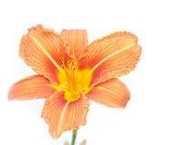 Orange Lilie lizenzfreies stockbild