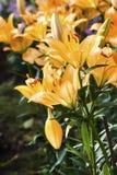 Orange Lilie lizenzfreie stockbilder