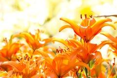 Orange Lilie stockbilder