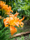 Orange Lilie Stockfoto