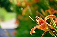 Orange Lilie auf einem grünen Hintergrund Stockbild