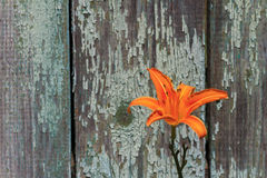 Orange Lilie auf einem Hintergrund von alten Brettern Lizenzfreie Stockfotos