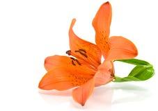 Orange Lilie auf weißem Hintergrund Stockbilder