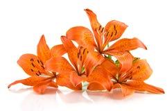 Orange Lilie auf weißem Hintergrund Stockfotografie